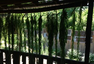 Weld plants drying on the porch of the (STRONGFELT STUDIO, 2014)